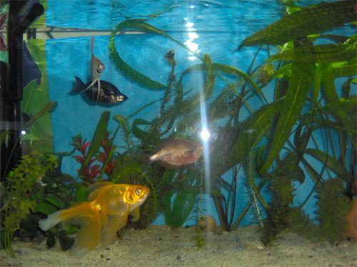 Akvaryum balıkları: isimleri, açıklamaları ve içerikleri