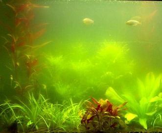 Akvaryumlarda Yeşil Su Oluşumu